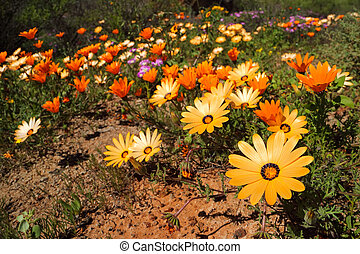 Namaqualand daisies - South Africa - Colorful Namaqualand...