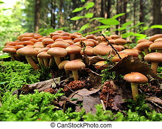 Nameko Mushrooms on a tree stump