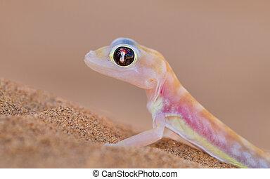 namib, gecko, rangei), web-footed, aussi, palmatogecko, (...