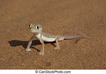 namib, gecko, rangei), web-footed, också, palmatogecko,...