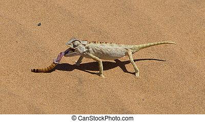 namib, namaqua, desierto, caza, camaleón