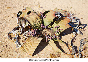 namib, welwitschia, desierto, mirabilis