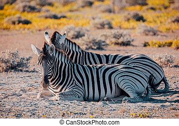namibia, fauna, cespuglio, africa, zebra