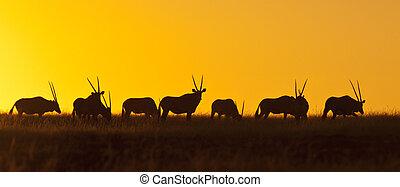Namibia - Gemsbok at sunset