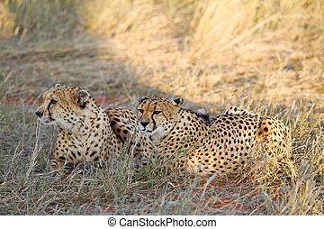 namibia, gepard