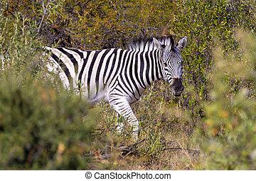 namibia, zebra, africa, cespuglio, fauna