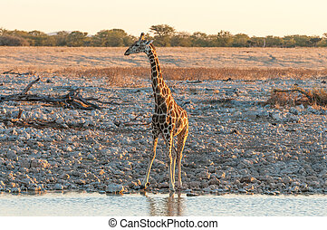 Namibian Giraffe at a waterhole in Northern Namibia at sunset
