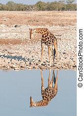 Namibian giraffe at a waterhole with reflection visible