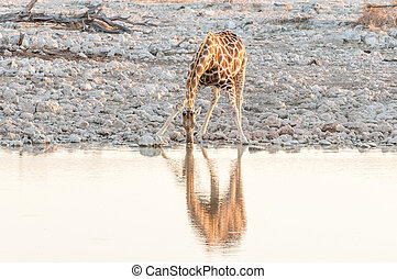Namibian giraffe drinking water at a waterhole at sunset