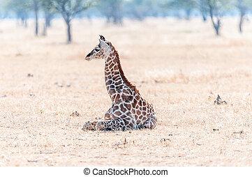Namibian giraffe lying on the grass