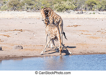 namibian, giraffe, stier, prüfungen, der, reproduktiv, bedingung, von, a, weibliche