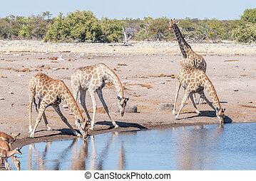 Namibian giraffes drinking water at a waterhole