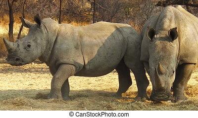 Namibian white rhinoceros - Herd of white rhinoceros grazing...