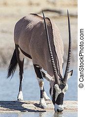 namibie, oryx, etosha, parc, national
