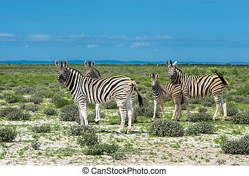 namibie, zèbres