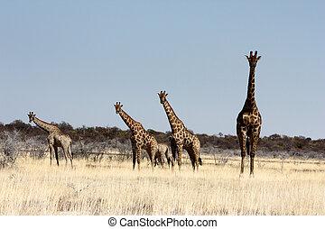 namibio, jirafas