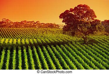 namiddag, wijngaarden