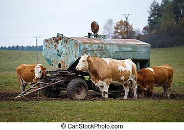 namočit, kráva, cisterna, krmivo