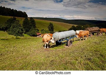 namočit, krmivo, nápoj, kráva, vysokohorský