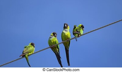 Nanday Conure Parakeets on a wire flying away - The nanday...