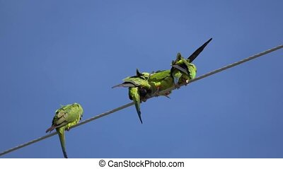 Nanday Conure Parakeets on a wire - The nanday parakeet...