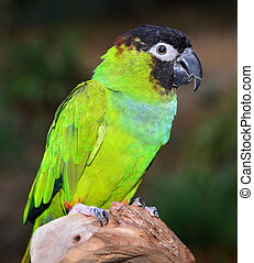 Nanday Conure close up