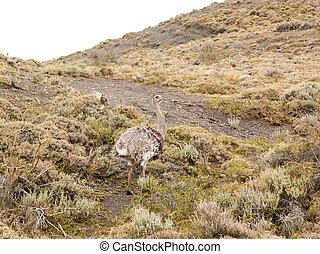 Nandu in the Wild - Nandu roaming in the patagonian wild...