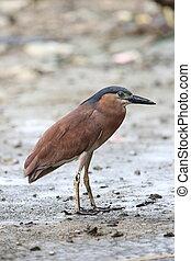 Nankeen night heron or Rufous night heron