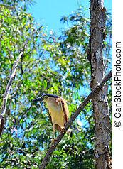 Nankeen night heron sit on a tree branch