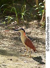 Nankeen night heron walks on the ground