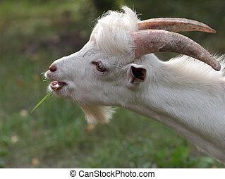nanny-goat