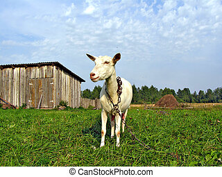 nanny goat by clinging chain