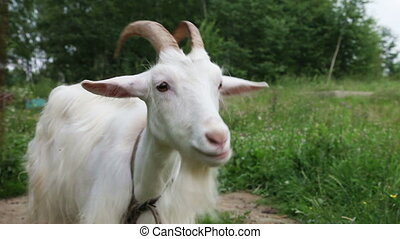 Nanny goat - Close up of white nanny goat in countryside