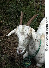 Nanny Goat in a Field