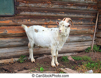 nanny goat near rural building
