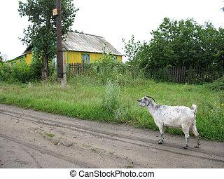 nanny-goat on rural road