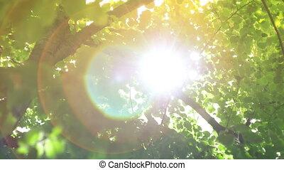 nap, bitófák, lencse, át, fellobbanás, csillogó