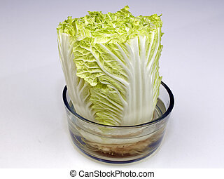 Napa Cabbage Growing in a Bowl of Water