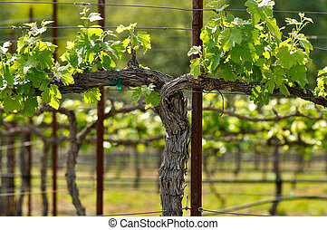 Napa Grape Vineyard in Spring