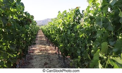 Napa Valley California - Vineyard in Napa Valley, San...