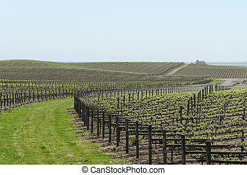 Napa Valley Grape Vineyard in Spring