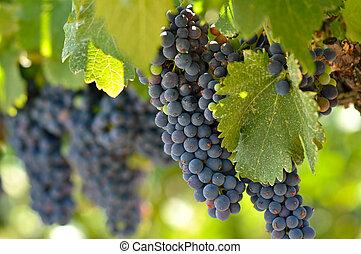 napa, vid, california, uvas, valle, rojo