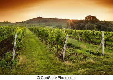 napkelte, felett, egy, szőlőskert