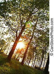 napnyugta, alatt, a, erdő