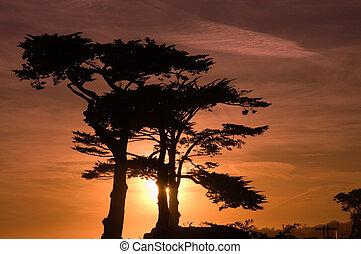 napnyugta, felett, kicsi, ciprusfa, liget