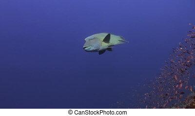 Napoleon Fish on Coral Reef in ocean sea close up