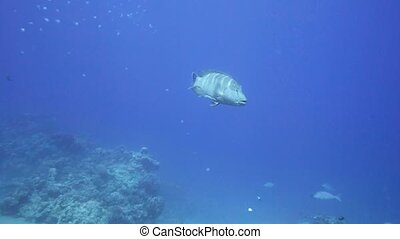 Napoleon Fish on Coral Reef in Red Sea. Egypt
