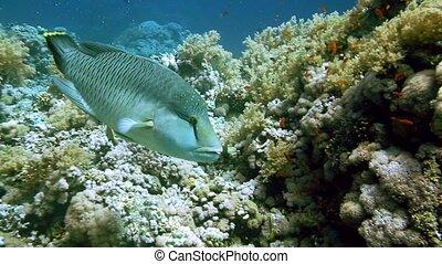 Napoleon Fish on Coral Reef, underwater scene