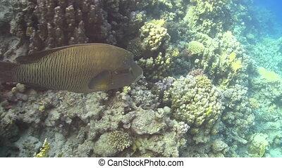 Napoleon fish on Coral Reef