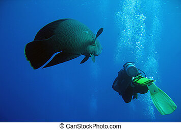 Napoleonfish and Diver Swimming Together, Ras Mohammed, Egypt